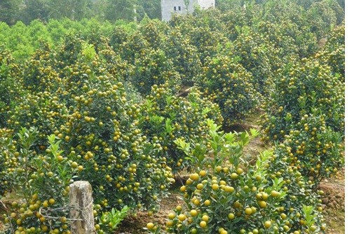 Vườn quất tiền tỷ của lão nông đất Thành Nam - ảnh 4