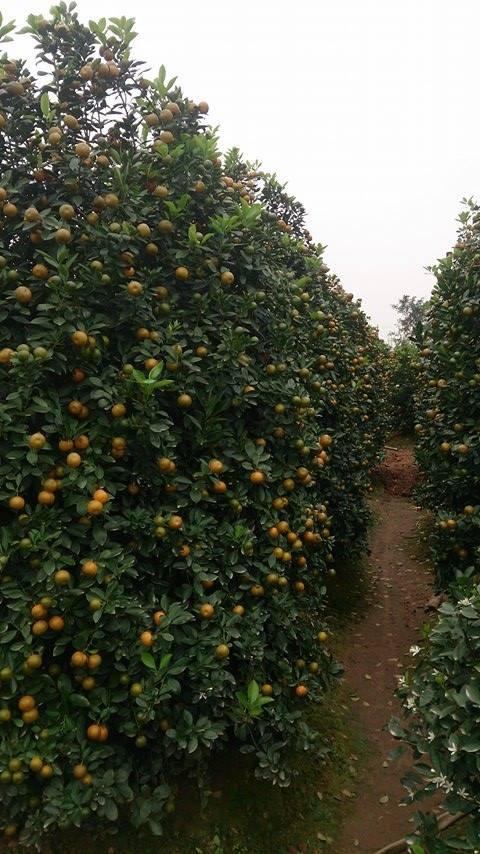 Vườn quất tiền tỷ của lão nông đất Thành Nam - ảnh 2