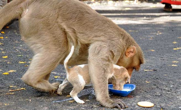 Cảm động câu chuyện khỉ 'nhận nuôi' chú chó mồ côi - ảnh 1