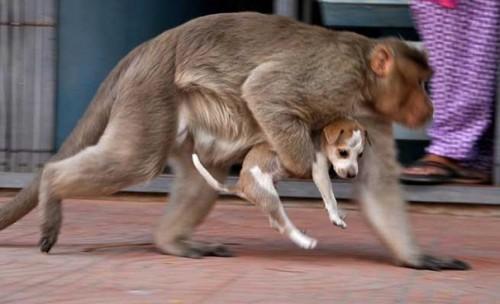 Cảm động câu chuyện khỉ 'nhận nuôi' chú chó mồ côi - ảnh 5