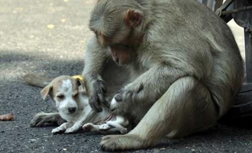 Cảm động câu chuyện khỉ 'nhận nuôi' chú chó mồ côi - ảnh 6