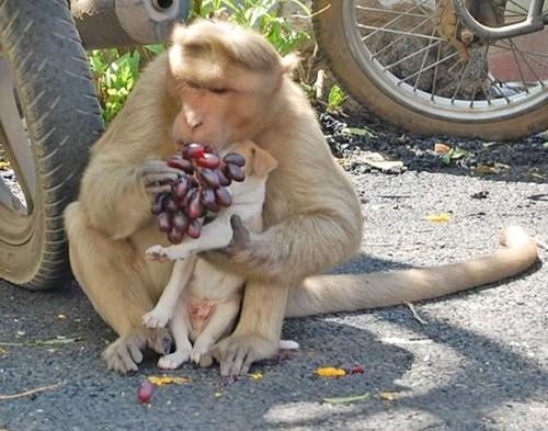 Cảm động câu chuyện khỉ 'nhận nuôi' chú chó mồ côi - ảnh 7