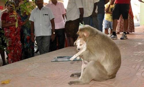 Cảm động câu chuyện khỉ 'nhận nuôi' chú chó mồ côi - ảnh 8