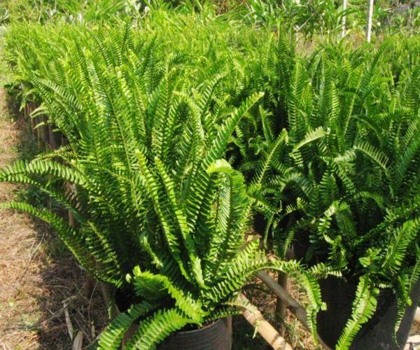 4 loại rau mọc hoang dễ tìm giúp bạn 'trường thọ' - ảnh 3