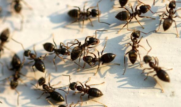 Hàng chục con kiến làm tổ trong tai bé gái mà không hay biết - ảnh 2