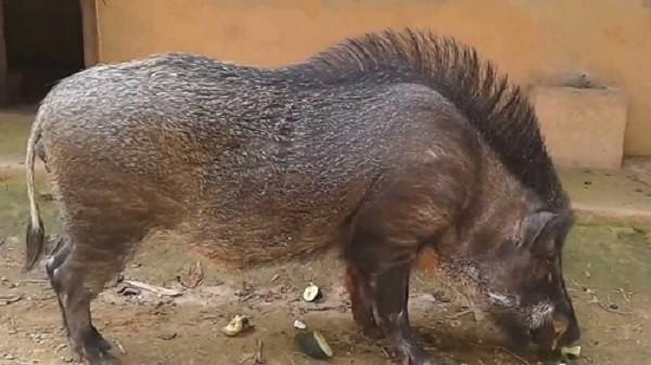 Lợn rừng 100kg tấn công người: Phó chủ tịch huyện phải bồi thường - ảnh 1
