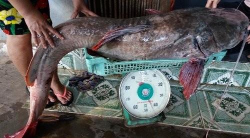 Bắt được cá lăng khổng lồ dài 1,7m ở Đắk Nông - ảnh 1