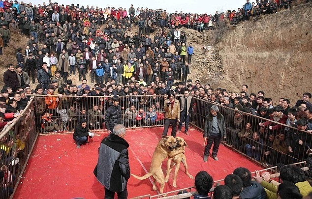 Kinh hoàng lễ hội chọi chó dã man ở Trung Quốc - ảnh 1