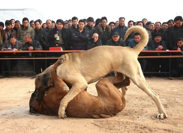 Kinh hoàng lễ hội chọi chó dã man ở Trung Quốc - ảnh 4