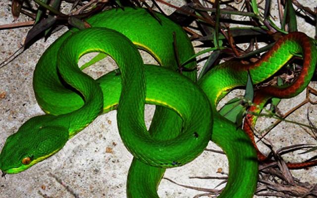 Bé trai 13 tuổi bị rắn lục đuôi đỏ cắn suýt chết - ảnh 1