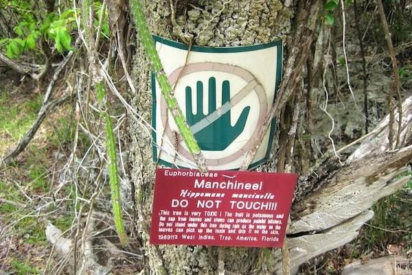 Khám phá 'loài cây chết chóc' nguy hiểm nhất hành tinh - ảnh 2