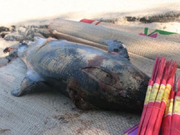 Cá heo 'khủng' 100kg chết dạt vào bờ biển Quảng Ninh - ảnh 1