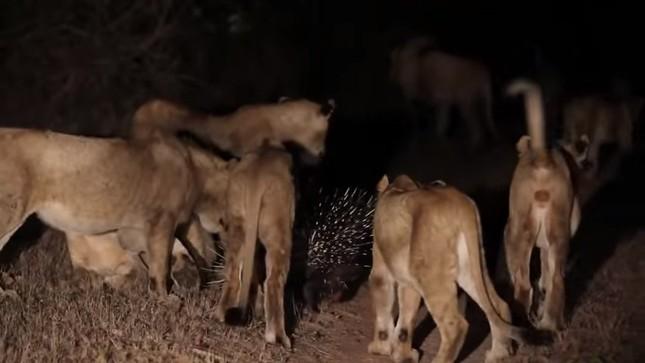 Chuyện gì xảy ra khi 17 con sư tử tấn công 1 con nhím? - ảnh 1