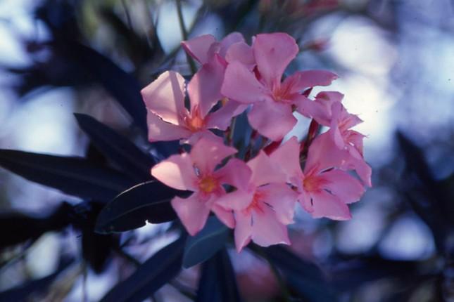 Rùng mình những loài cây cảnh đẹp có độc gây tử vong - ảnh 1