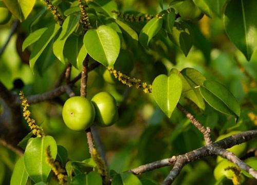Rùng mình những loài cây cảnh đẹp có độc gây tử vong - ảnh 2