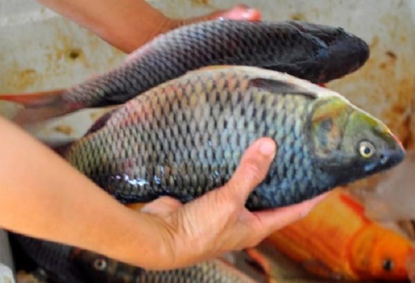 Hàng trăm hộ dân bất lực nhìn cá chết trắng sông  - ảnh 7