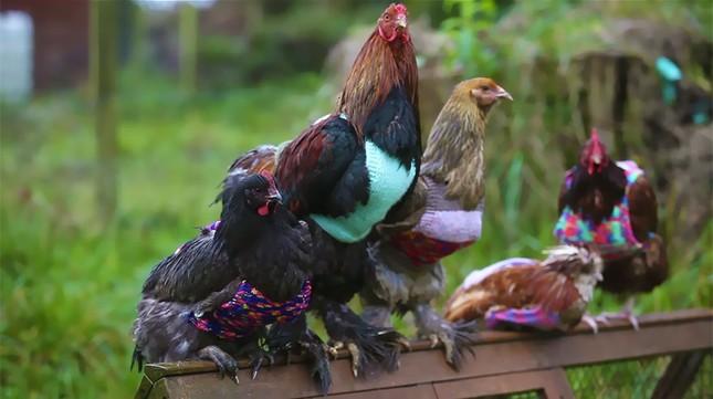 Kỳ lạ người phụ nữ đan áo len vì sợ gà lạnh - ảnh 1