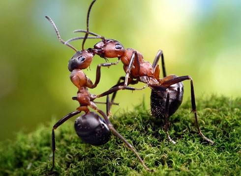 Loài kiến với quy tắc giao thông trên cả tuyệt vời - ảnh 2