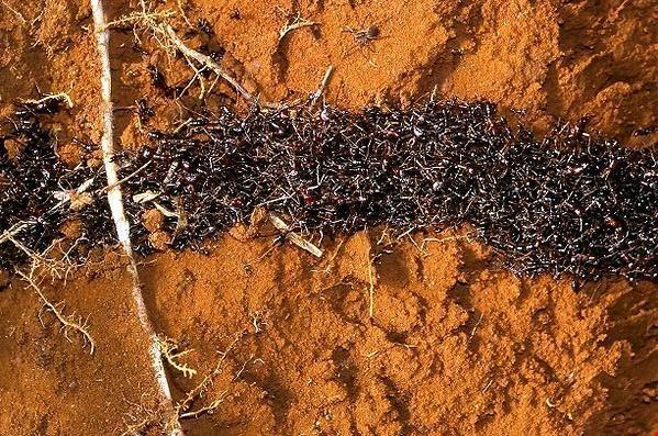 Loài kiến với quy tắc giao thông trên cả tuyệt vời - ảnh 1