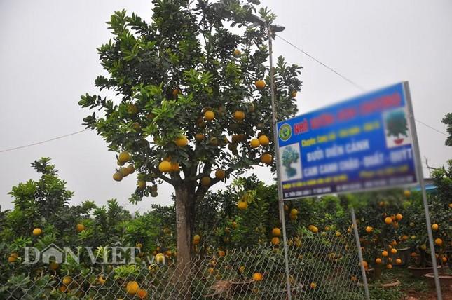Nhà vườn tiếc nuối khi bán cây bưởi cổ thụ 5 mét chỉ 50 triệu đồng - ảnh 1