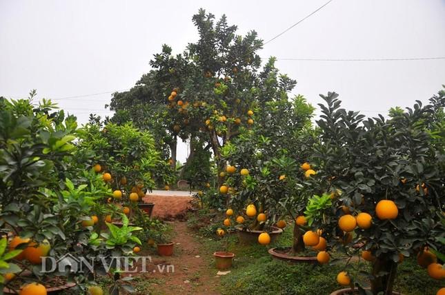 Nhà vườn tiếc nuối khi bán cây bưởi cổ thụ 5 mét chỉ 50 triệu đồng - ảnh 2