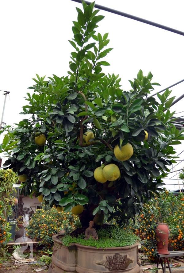Nhà vườn tiếc nuối khi bán cây bưởi cổ thụ 5 mét chỉ 50 triệu đồng - ảnh 3