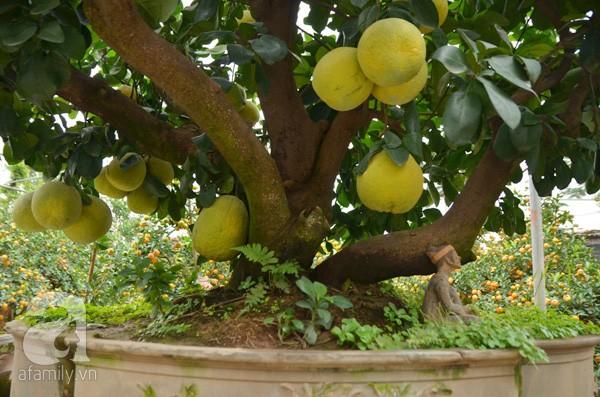 Nhà vườn tiếc nuối khi bán cây bưởi cổ thụ 5 mét chỉ 50 triệu đồng - ảnh 4