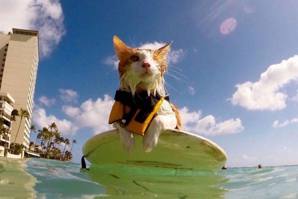 Gặp Kuli – chú mèo một mắt lướt sóng cực thuần thục tại Hawaii - ảnh 1