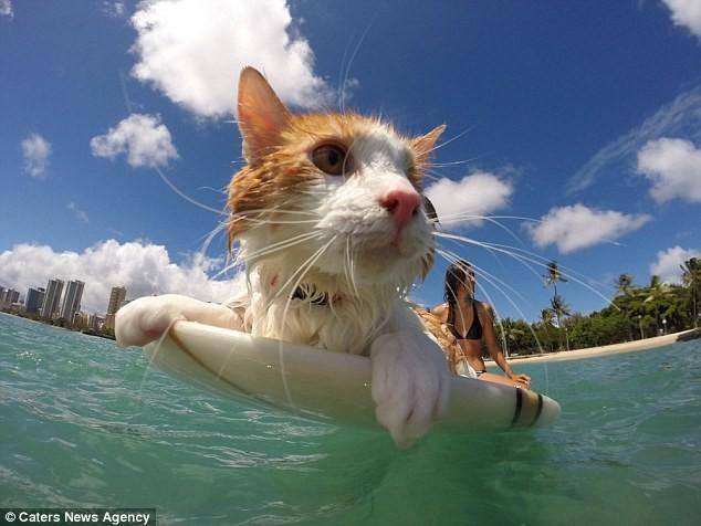 Gặp Kuli – chú mèo một mắt lướt sóng cực thuần thục tại Hawaii - ảnh 2