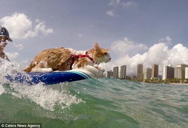 Gặp Kuli – chú mèo một mắt lướt sóng cực thuần thục tại Hawaii - ảnh 4