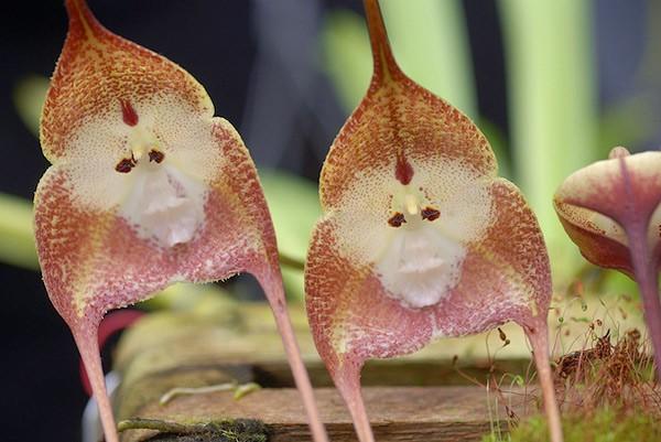 Thích thú ngắm loài hoa lan hiếm có khuôn mặt cực giống khỉ - ảnh 9