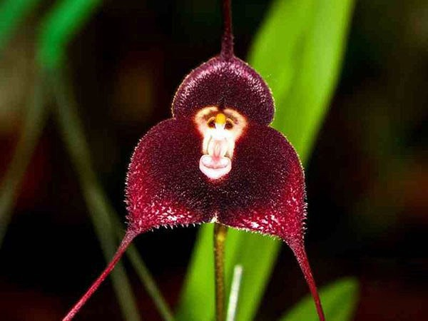 Thích thú ngắm loài hoa lan hiếm có khuôn mặt cực giống khỉ - ảnh 1