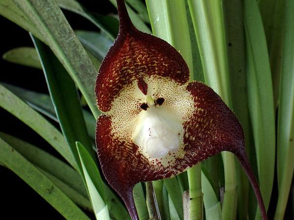 Thích thú ngắm loài hoa lan hiếm có khuôn mặt cực giống khỉ - ảnh 11
