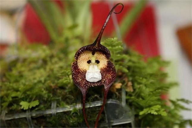 Thích thú ngắm loài hoa lan hiếm có khuôn mặt cực giống khỉ - ảnh 2