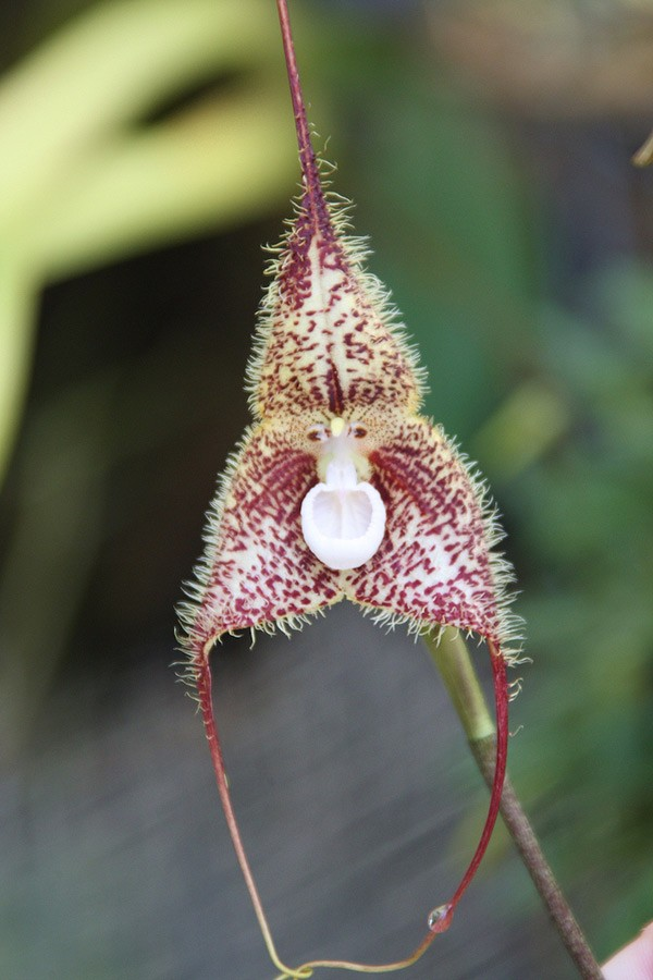 Thích thú ngắm loài hoa lan hiếm có khuôn mặt cực giống khỉ - ảnh 10