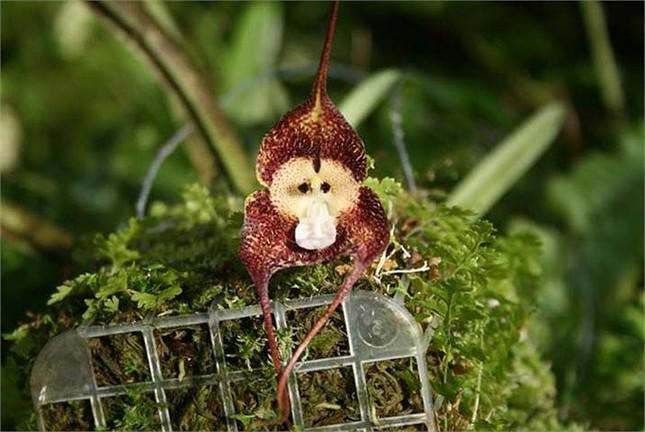 Thích thú ngắm loài hoa lan hiếm có khuôn mặt cực giống khỉ - ảnh 3
