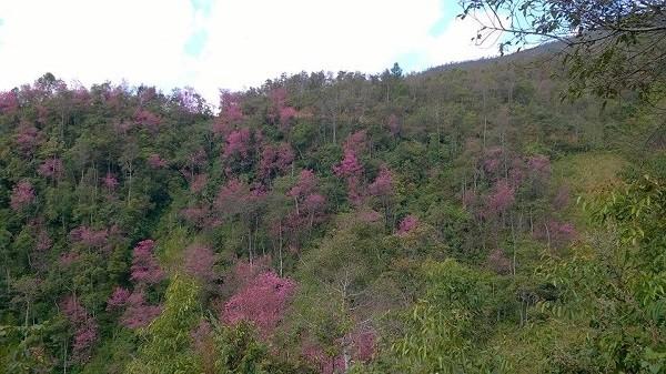 Rực rỡ mùa hoa Tớ Dày trên thung lũng La Pán Tẩn - ảnh 1