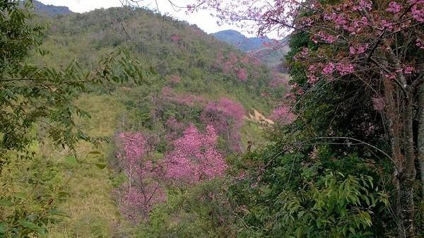 Rực rỡ mùa hoa Tớ Dày trên thung lũng La Pán Tẩn - ảnh 6