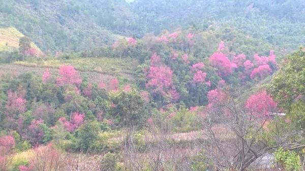 Rực rỡ mùa hoa Tớ Dày trên thung lũng La Pán Tẩn - ảnh 5