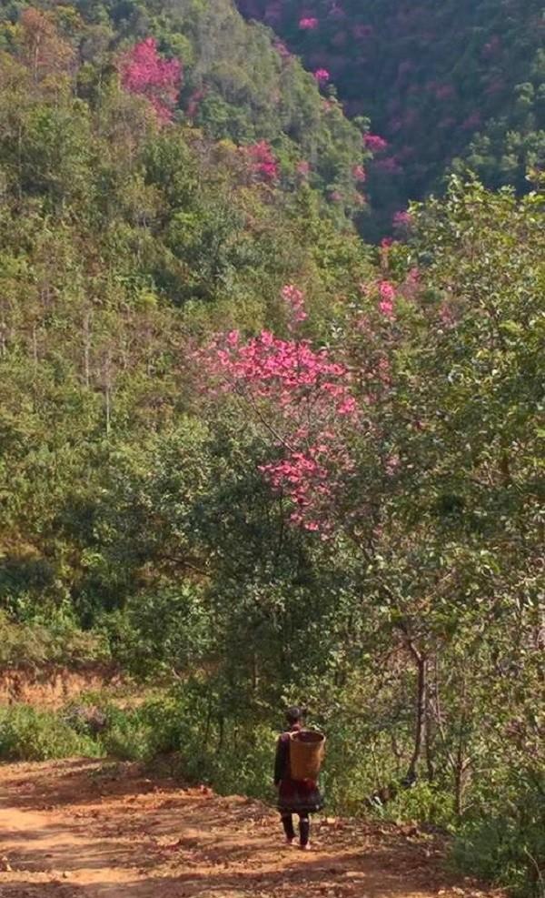 Rực rỡ mùa hoa Tớ Dày trên thung lũng La Pán Tẩn - ảnh 4
