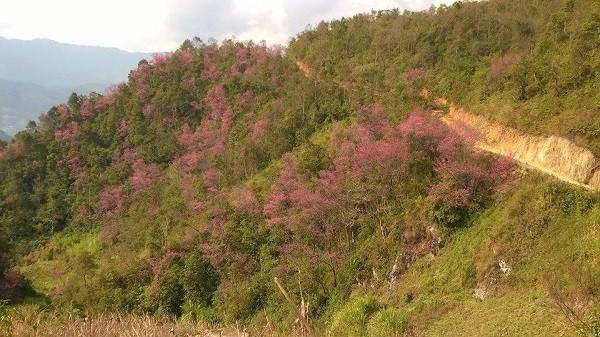Rực rỡ mùa hoa Tớ Dày trên thung lũng La Pán Tẩn - ảnh 3