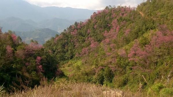 Rực rỡ mùa hoa Tớ Dày trên thung lũng La Pán Tẩn - ảnh 2