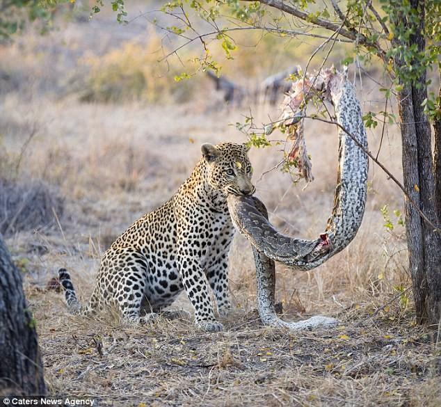 Báo đốm đói bụng kéo con trăn từ trên cây xuống xơi tái - ảnh 7