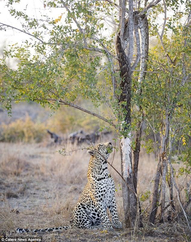 Báo đốm đói bụng kéo con trăn từ trên cây xuống xơi tái - ảnh 1