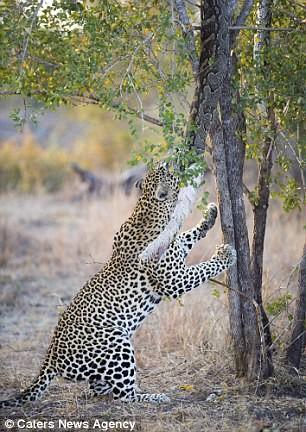 Báo đốm đói bụng kéo con trăn từ trên cây xuống xơi tái - ảnh 3