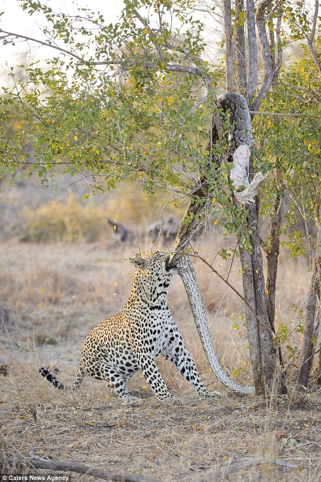Báo đốm đói bụng kéo con trăn từ trên cây xuống xơi tái - ảnh 4