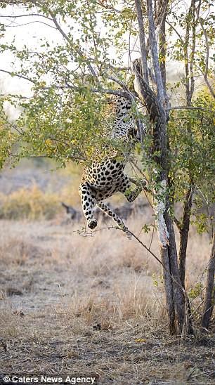 Báo đốm đói bụng kéo con trăn từ trên cây xuống xơi tái - ảnh 5