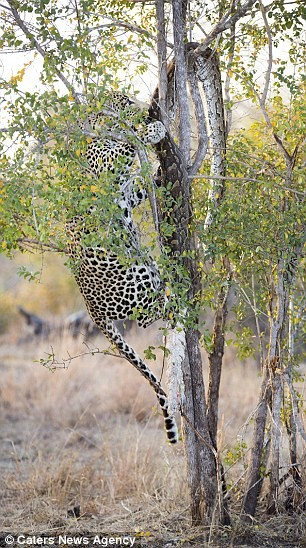 Báo đốm đói bụng kéo con trăn từ trên cây xuống xơi tái - ảnh 6