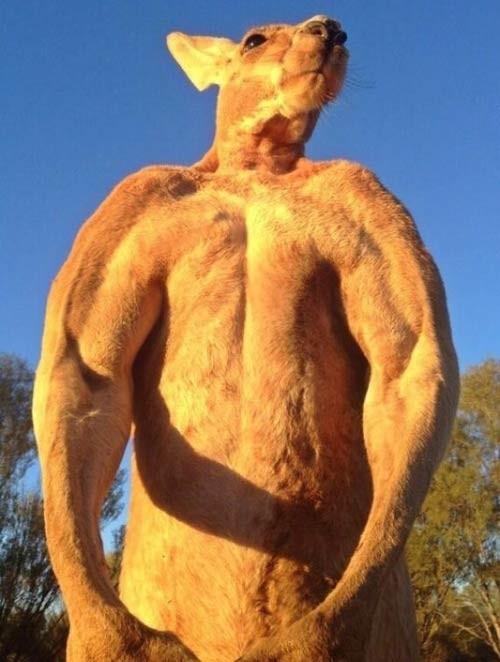 Phát sốt với 'soái ca' kangaroo thân hình 6 múi ở Úc - ảnh 2
