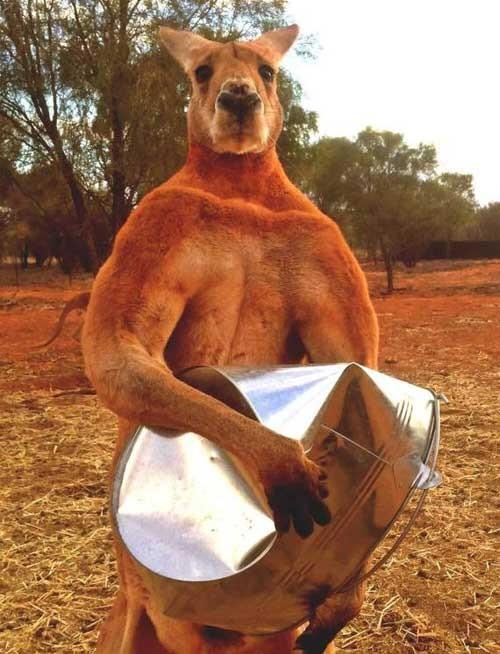 Phát sốt với 'soái ca' kangaroo thân hình 6 múi ở Úc - ảnh 1